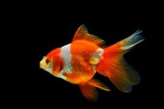 rybi złocisty odosobnienie biel Zdjęcie Royalty Free