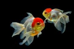 rybi złocisty odosobnienie biel Fotografia Stock