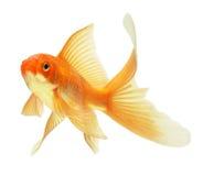 rybi złoto zdjęcie royalty free