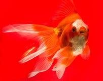 rybi złoto Fotografia Stock