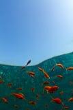 rybi złocisty czerwony morze Obrazy Stock