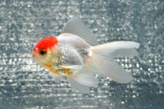 rybi złocisty odosobnienie biel Obraz Stock
