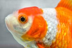 rybi złocisty odosobnienie biel Zdjęcia Stock