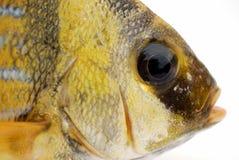 rybi złoto fotografia royalty free