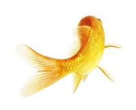 rybi złoto Obrazy Royalty Free