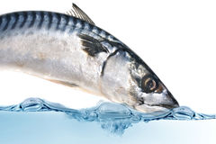 rybia świeża makrela Fotografia Royalty Free