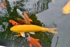 Rybia bzdury jest pomarańczowa i złocista Zdjęcie Royalty Free