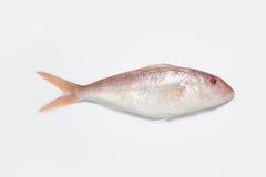 rybia czerwień Obrazy Royalty Free