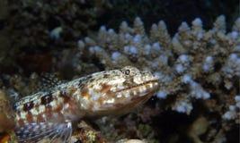 rybia jaszczurka Zdjęcie Royalty Free