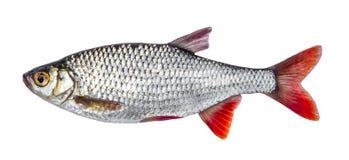 Rybia rzeczna płoć odizolowywająca na białym tła Scardinius erythrophthalmus Obrazy Royalty Free