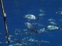 rybia szkoła Zdjęcia Stock