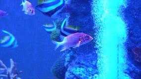 Rybia sztuka z bąblami woda Życie w akwarium Stubarwna ryba w 4K zbiory