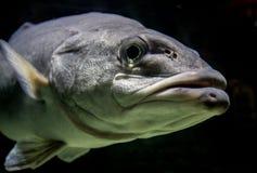 Rybia twarz Fotografia Royalty Free