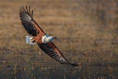 Rybiego Eagle flyby Zdjęcie Royalty Free