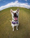 Rybiego oka obiektywu zakończenie up uśmiechnięty pies Fotografia Royalty Free