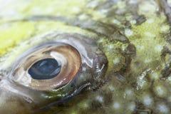 Rybiego oka zakończenie Jawa rabbitfish, Bluespotted kręgosłup (, ryba) Zdjęcia Royalty Free