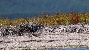 Rybołów, Pandion haliaetus, latanie unosi się i nurkuje na zdobyczu na rzecznym spey w Scotland, Czerwiec zdjęcie wideo
