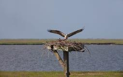 Rybołowa lądowanie na gniazdeczku z szturmanem zdjęcia royalty free