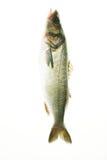 ryby Fotografia Stock