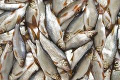 ryby Obraz Stock