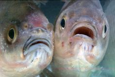 ryby Obraz Royalty Free