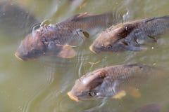ryby koi Fotografia Royalty Free