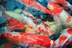 ryby koi Obraz Royalty Free