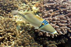 ryby korali morza czerwonego Fotografia Stock