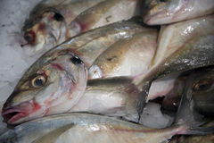 ryby 1 lodu Zdjęcie Stock