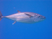 ryby tuńczyka Fotografia Stock