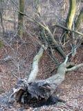 Ryckt upp träd Royaltyfri Fotografi