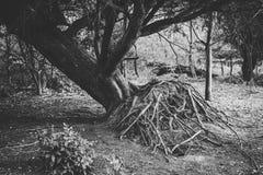 Ryckt upp träd i Forest Showing Roots svart white fotografering för bildbyråer