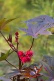 Rycynowa Bobowa roślina Obrazy Stock