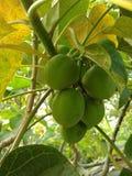 Rycynowa owoc zdjęcie stock