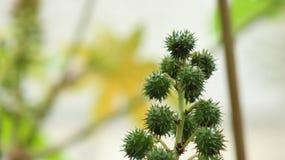 rycynowy rycynowy lub fasola - nafciana roślina &-x28; Ricinus communis&-x29; , kwiatostan z samiec i kobieta kwiaty zdjęcia royalty free