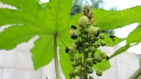 rycynowy rycynowy lub fasola - nafciana ro?lina & x28; Ricinus communis& x29; , kwiatostan z samiec i kobieta kwiaty zdjęcie royalty free