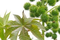 Rycynowy - nafciana roślina 11 zdjęcie stock