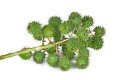 Rycynowy - nafciana roślina na białym tle Obraz Royalty Free