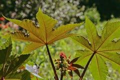 Rycynowy - nafciana roślina z czerwonymi kłującymi owoc i kolorowymi liśćmi Obrazy Stock