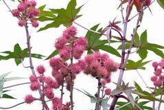 Rycynowy - nafciana roślina 09 Obraz Stock