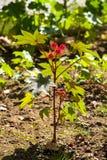 Rycynowy - nafciana roślina Zdjęcia Stock