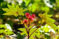 Rycynowy - nafcianej rośliny szczegół Obraz Stock