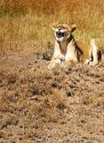 ryczący lwicy obrazy stock