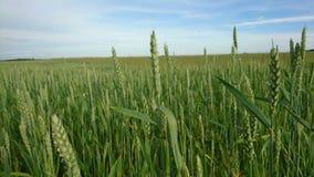Rye в лете Стоковые Изображения