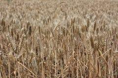 Rye/пшеничное поле Стоковые Фото