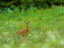 Rye раннее утро Стоковая Фотография RF
