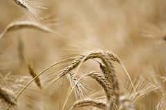 Rye Imagens de Stock