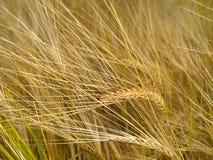 Rye Photo libre de droits