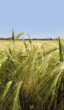 Rye. Green rye field on blue sky background royalty free stock image