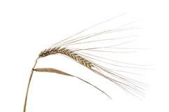 Rye Image libre de droits